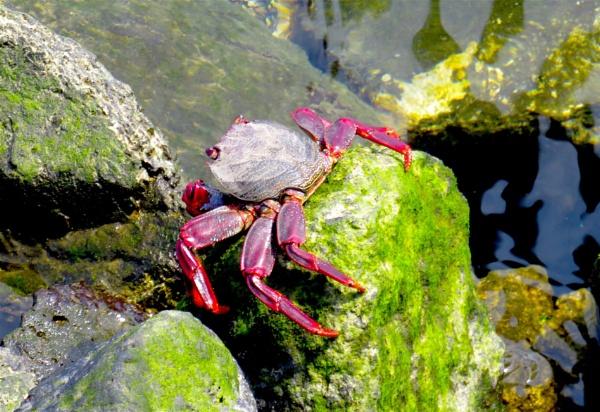 Red Crab by ddolfelin