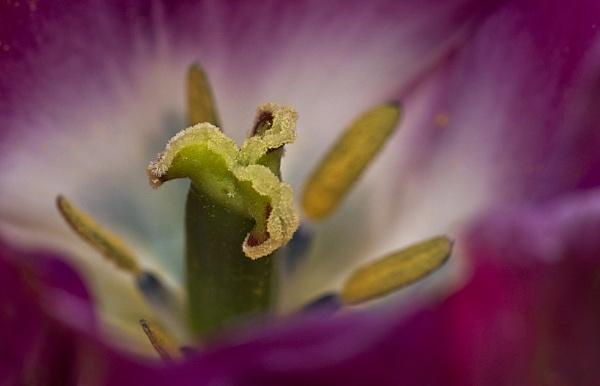 Tulip in the sun by deavilin
