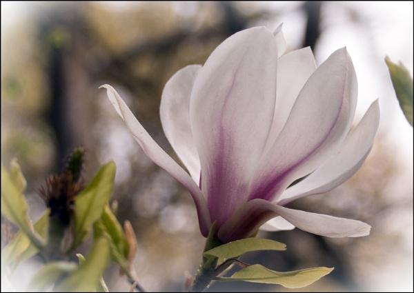Pink Magnolia by jimobee