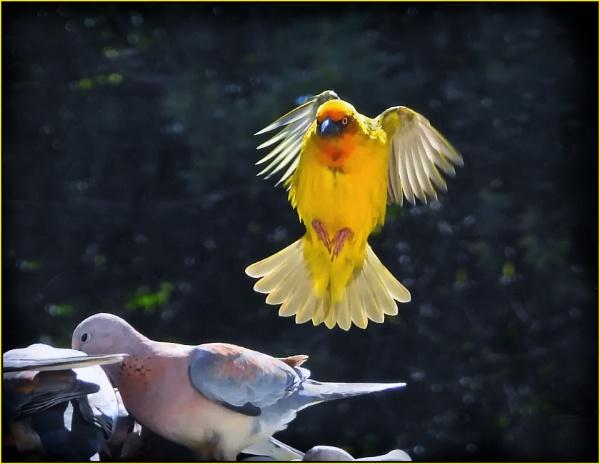 Golden weaver bird by fotobee