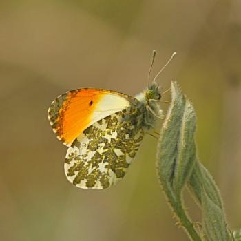 Orange-tip--Anthocharis cardamines.