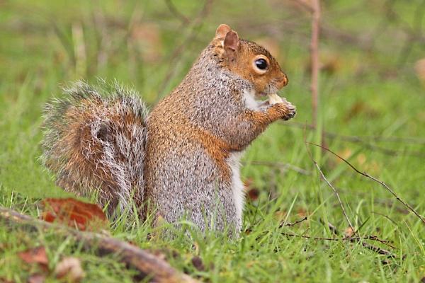 Grey Squirrel by bobpaige1