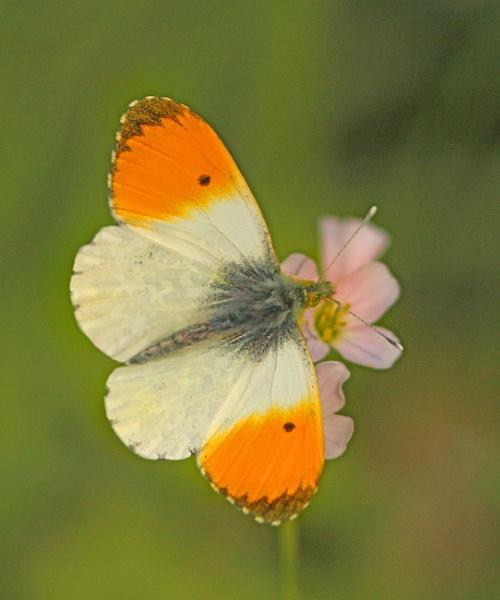 Orange-tip by bobpaige1