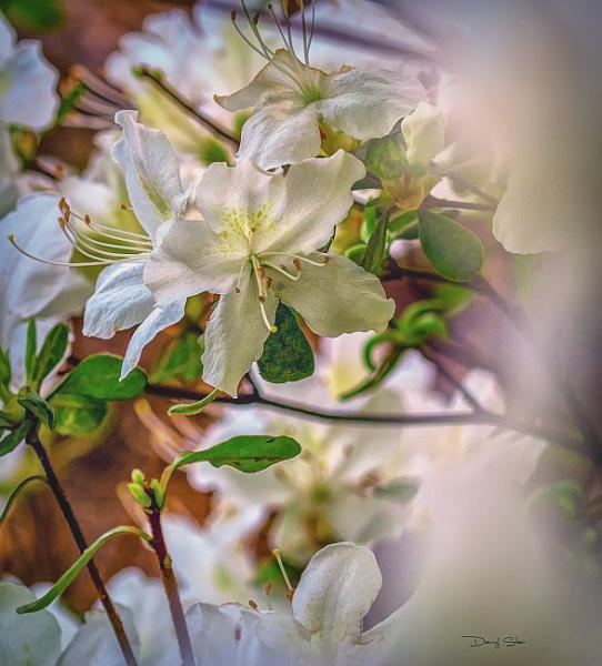 White Azalea by destair