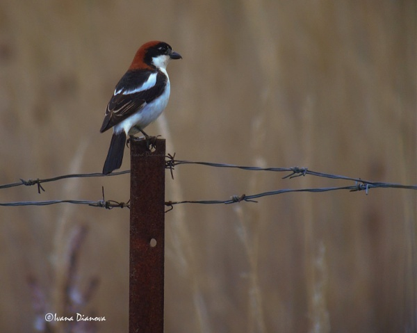Woodchat Shrike by idiabb
