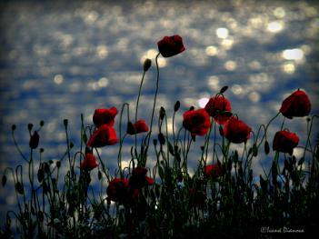 Windy Poppies