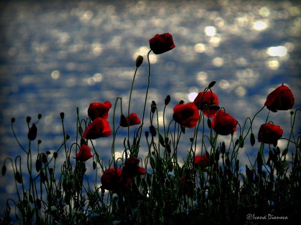 Windy Poppies by idiabb