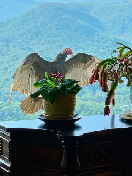 YIKES - a turkey vulture! by sheilajean48