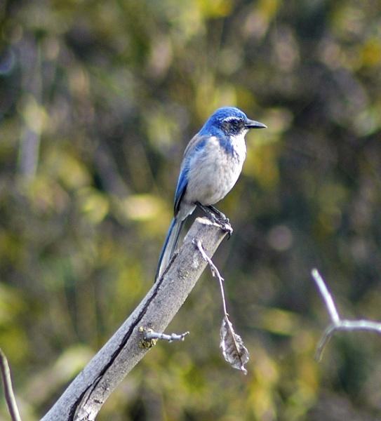 Blue Bird by sehrbrock