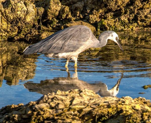 Herons reflections by Janetdinah