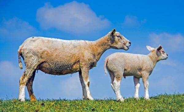 Sheep by joop_