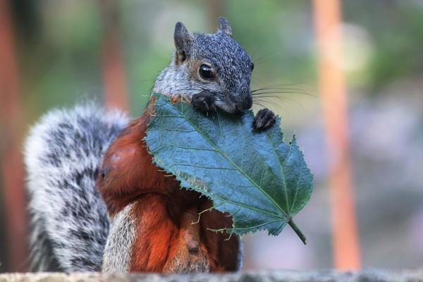 Gray squirrel by pedromontes
