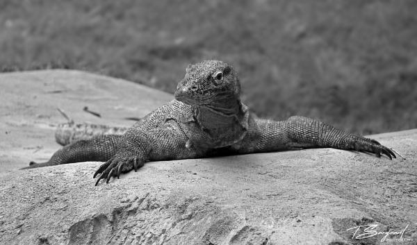 lizard by tristiansargeant
