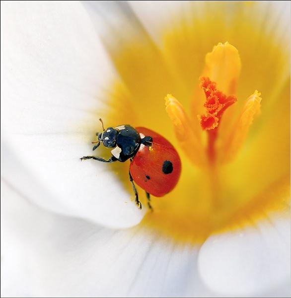 Ladybird * by bricurtis