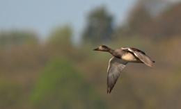 Male Gadwall in flight