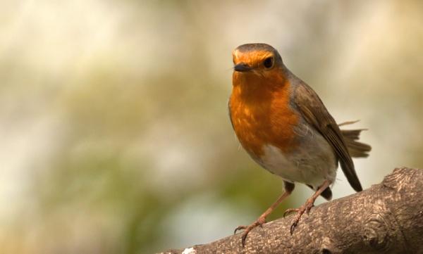 Robin by rawshooter