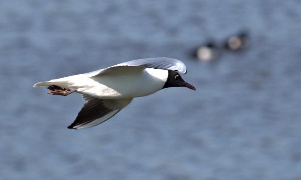 Black-headed Gull in flight by rawshooter