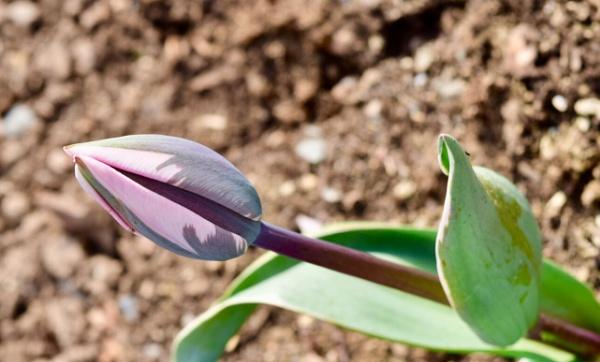 Tulip by BertM