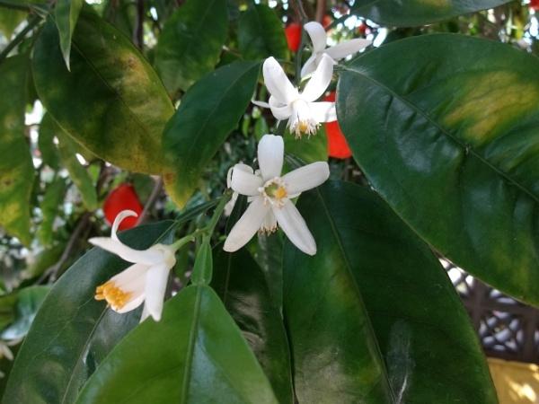 Orange Blossom by 3oldmen