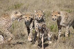 cheetah hunting baby thompson gazelle