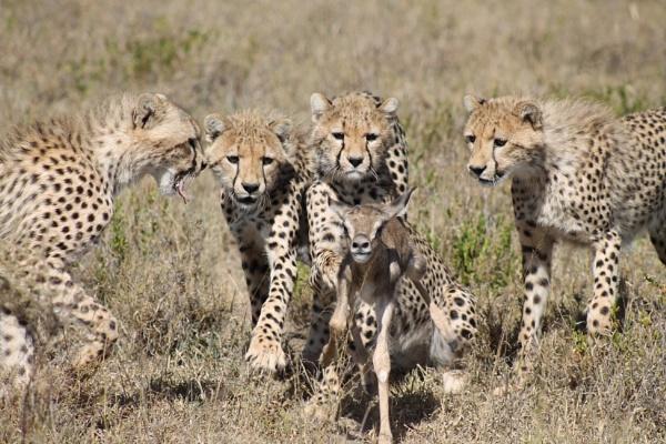 cheetah hunting baby thompson gazelle by tanzaniaodyssey