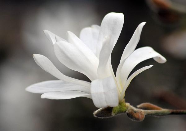 Magnolia Bloom by viscostatic