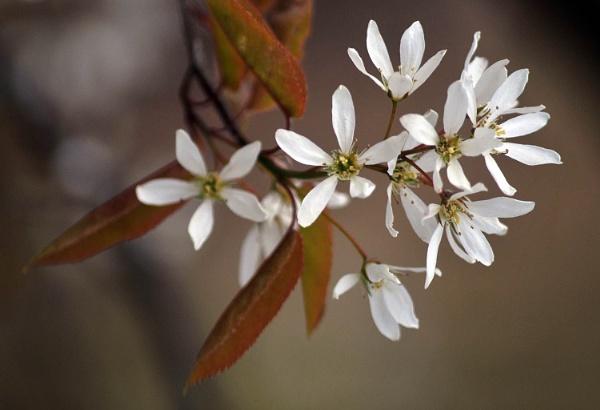 Cherry Blossom by viscostatic