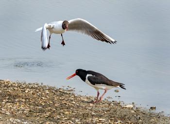 Duck!......no its an Oystercatcher !