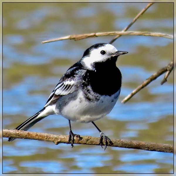 Pied Wagtail by Sylviwhalley