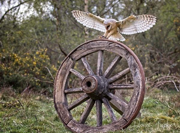 Owl Landing by Draig37