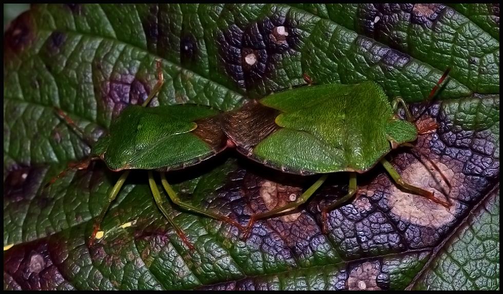 Green Shield Bugs - A Mating Pair ...