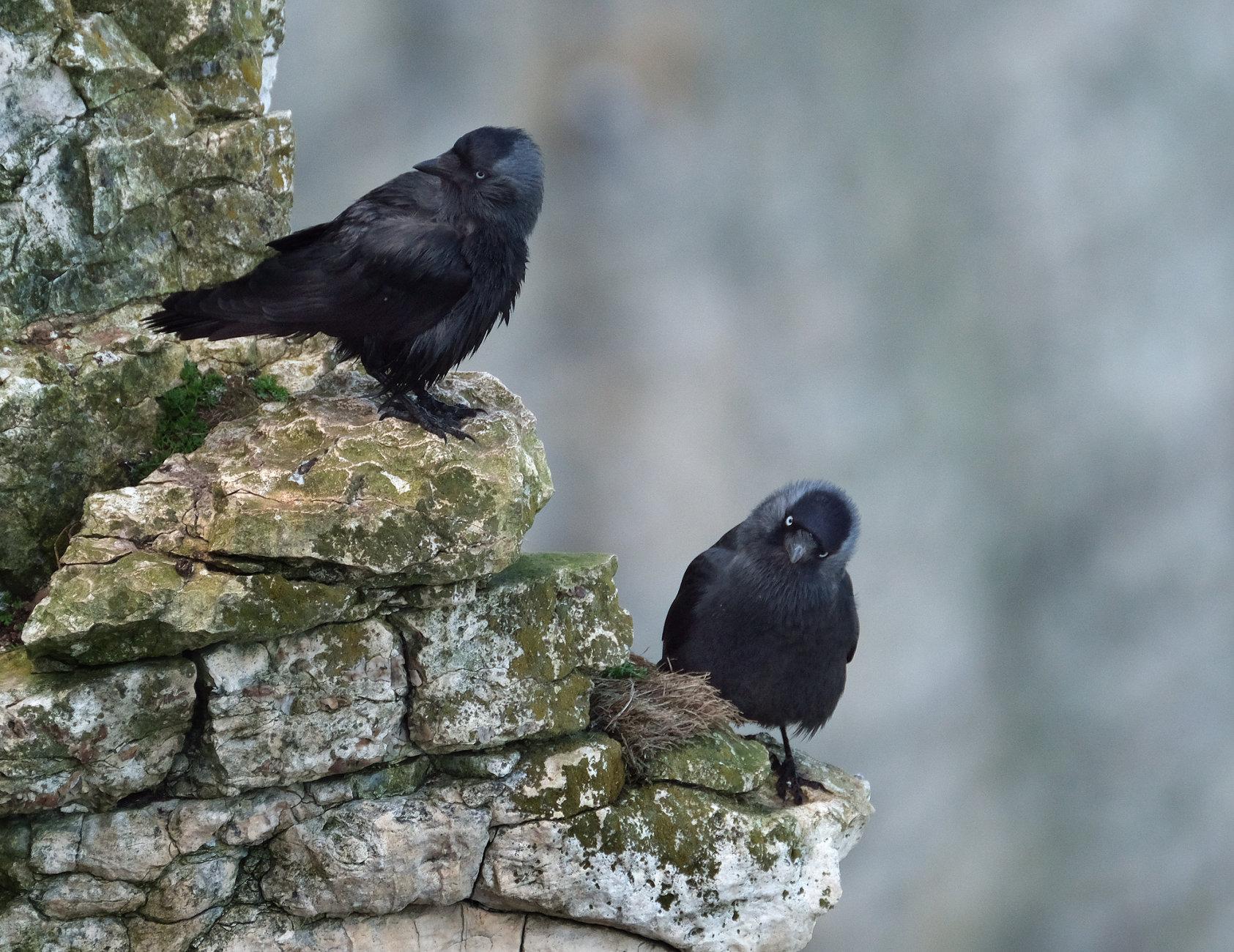 Jackdaw pair at bempton.