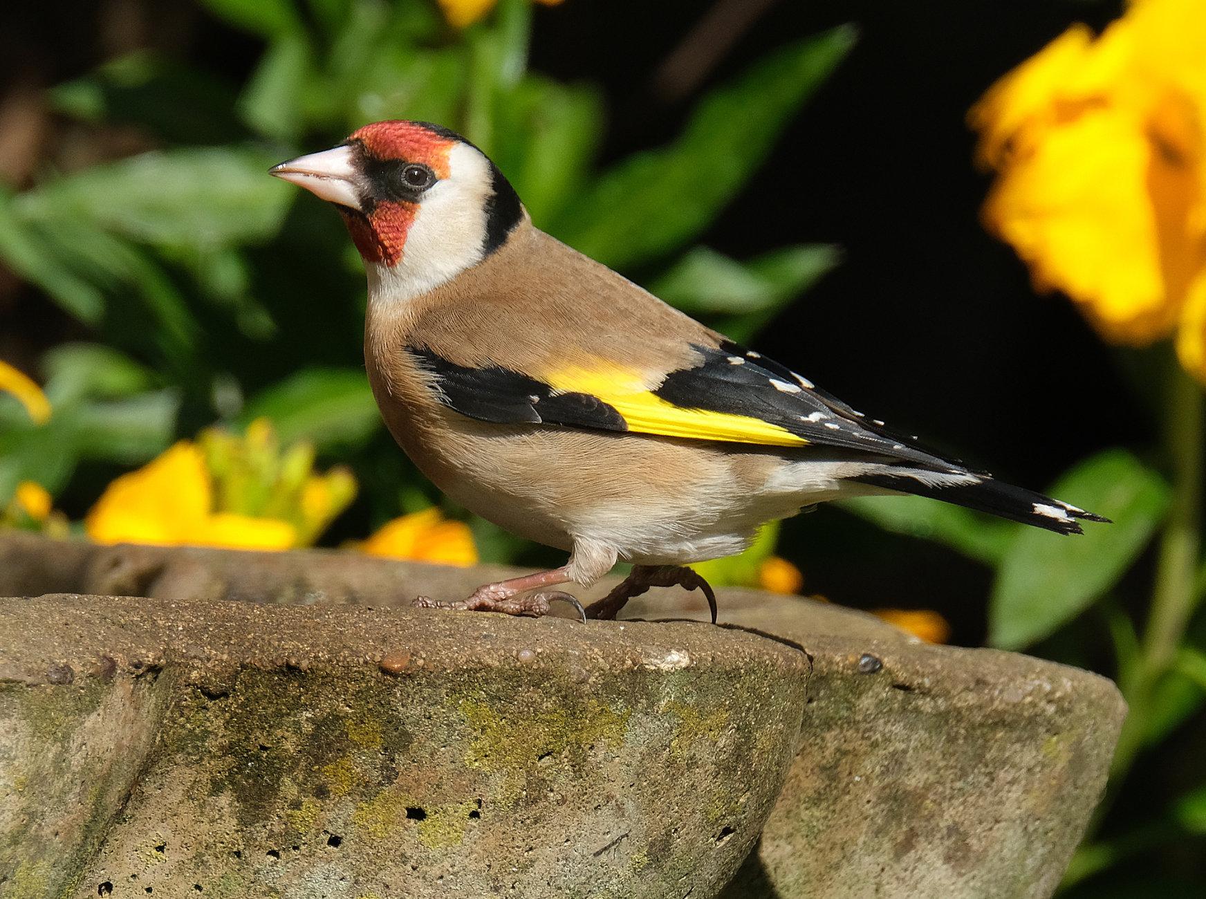 Goldfinch on bird bath.