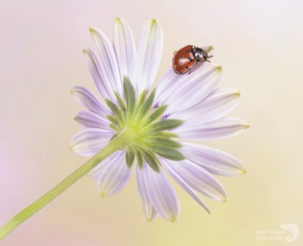 Ladybird exploring by Angi_Wallace