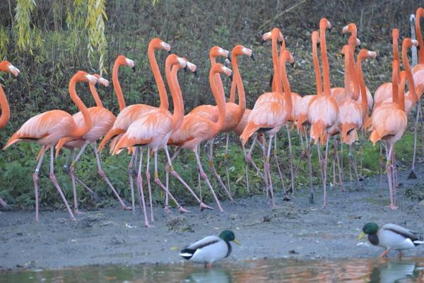 Flamingos by peterthowe