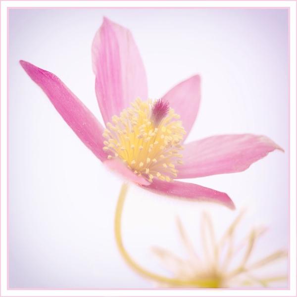 Lilac Vulgaris by tonyheps