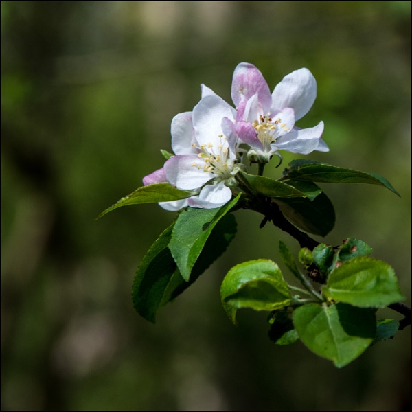 Wild apple tree blossom by rambler