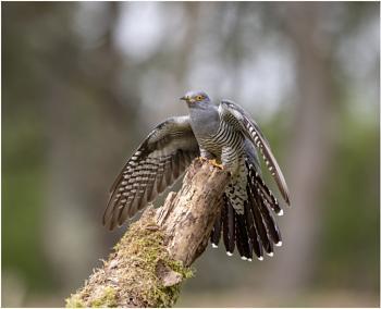 Cuckoo to land at last