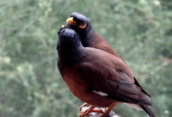 "\"" LOVE BIRDS \"" by abssastry"