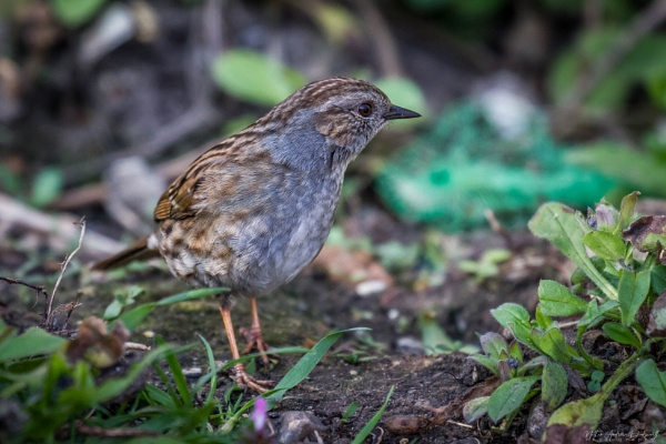 The Dunnock by NDODS
