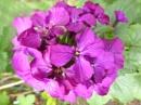 Flower- Honesty
