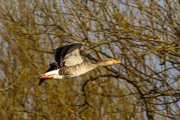Flying Greylag