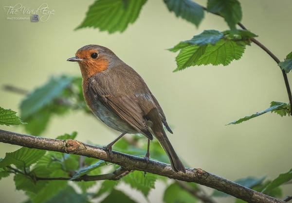 Robin by MartinWait
