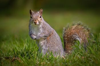 Posing Grey Squirrel