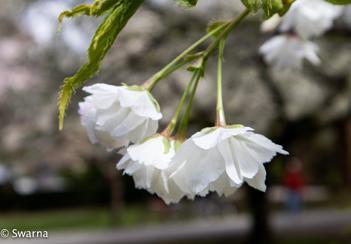 Cherry Blossom ...