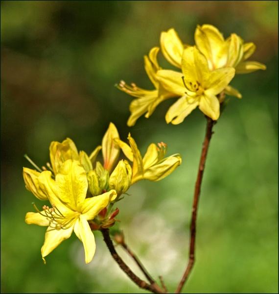 Rhododendron / Azalea by JuBarney