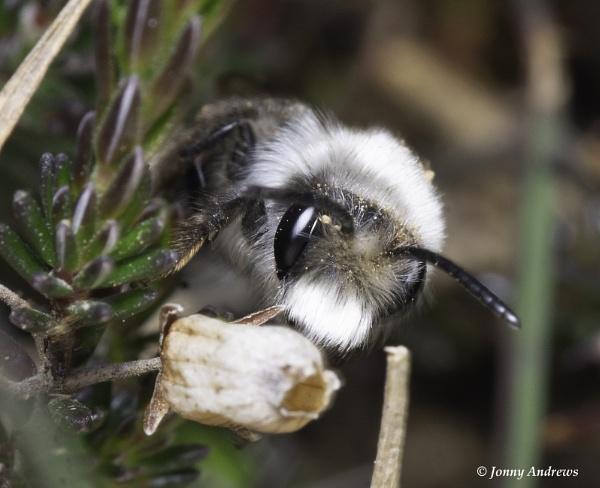 ashy mining bee by JonnyNI