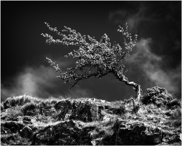 Blown Hawthorn by daibev