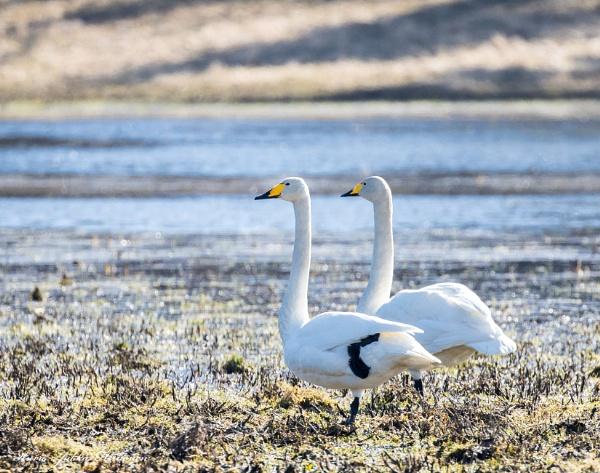 Mr. and Mrs. Swan. by kuvailija