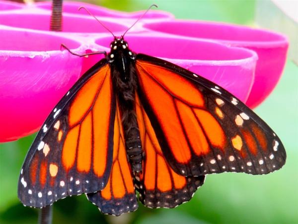 Monarch by ddolfelin